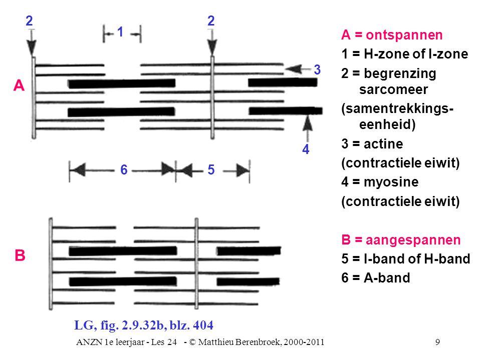 ANZN 1e leerjaar - Les 24 - © Matthieu Berenbroek, 2000-20119 A = ontspannen 1 = H-zone of I-zone 2 = begrenzing sarcomeer (samentrekkings- eenheid) 3