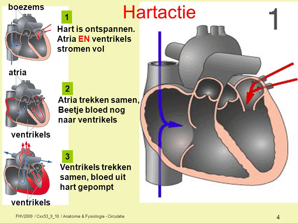 FHV2009 / Cxx53_9_10 / Anatomie & Fysiologie - Circulatie 3 Elektrische / mechanische activiteit