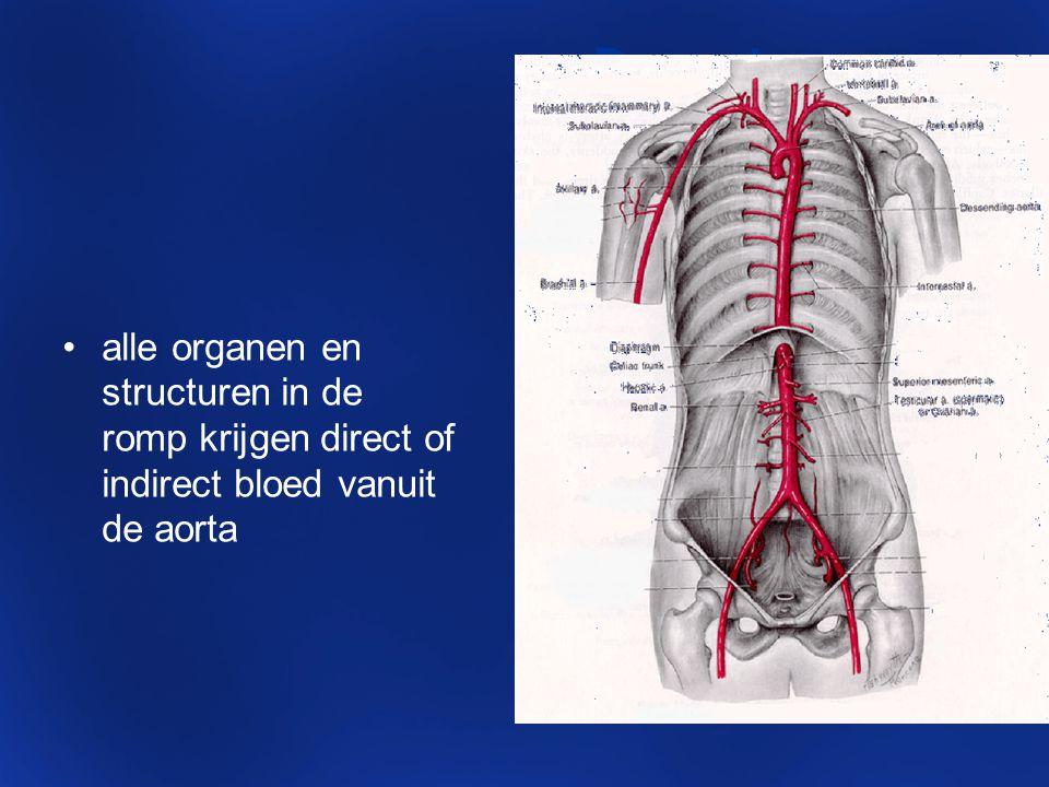 De aorta: alle organen en structuren in de romp krijgen direct of indirect bloed vanuit de aorta