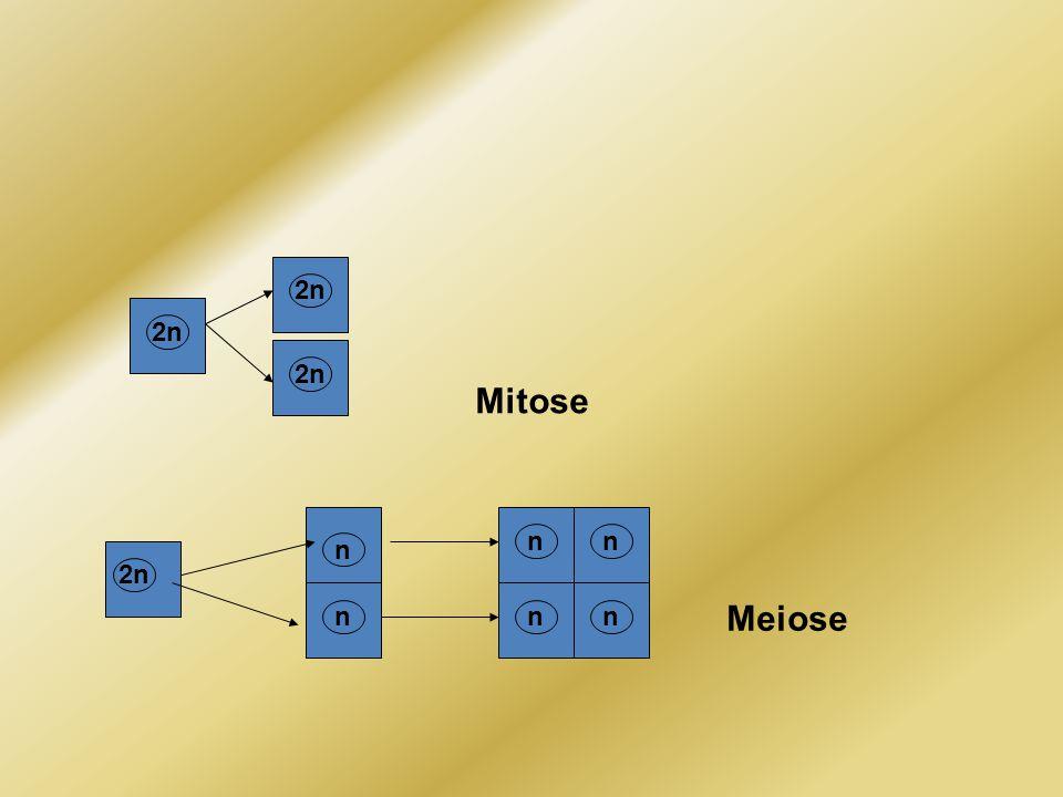 Mitose Meiose 2n n n n n nn