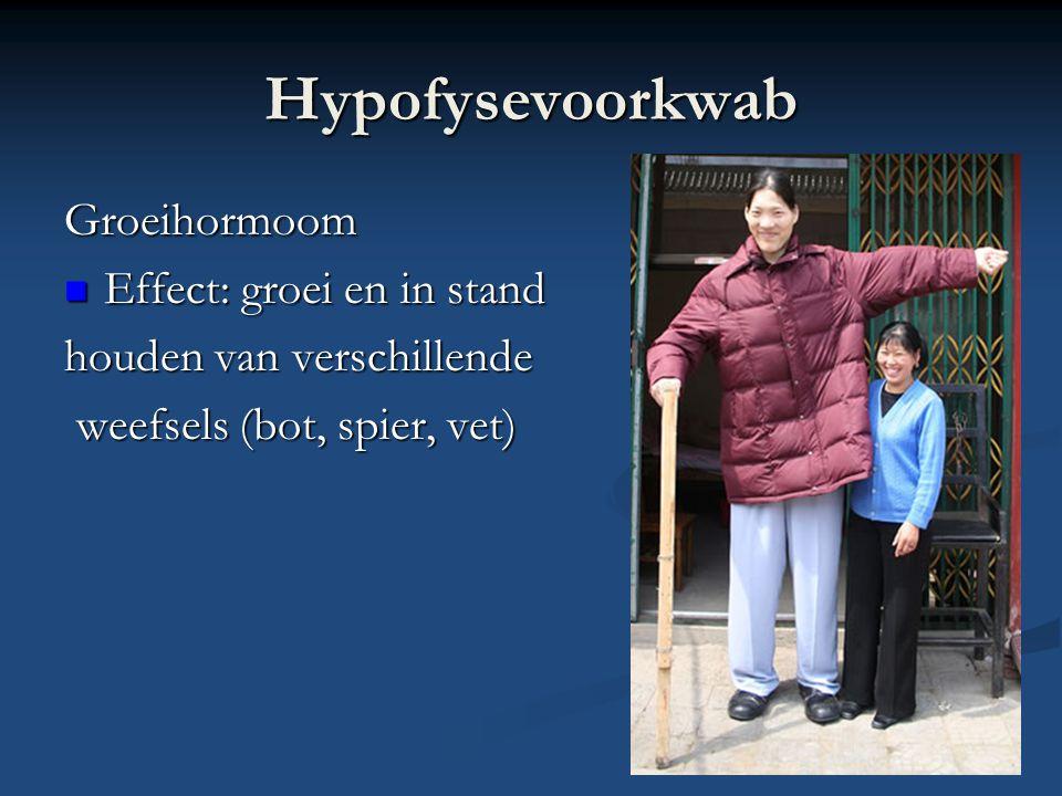 Hypofysevoorkwab Groeihormoom Effect: groei en in stand Effect: groei en in stand houden van verschillende weefsels (bot, spier, vet) weefsels (bot, spier, vet)