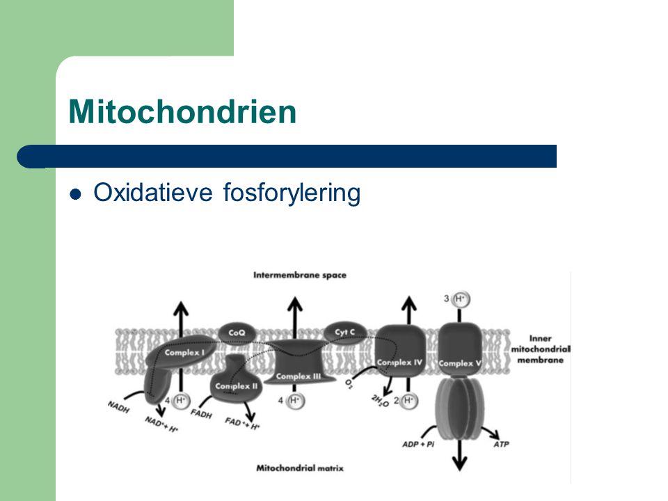 Mitochondrien Minder Mitochondrien bij schizofrenie- patiënten Minder ATP, minder dopamine opnamen
