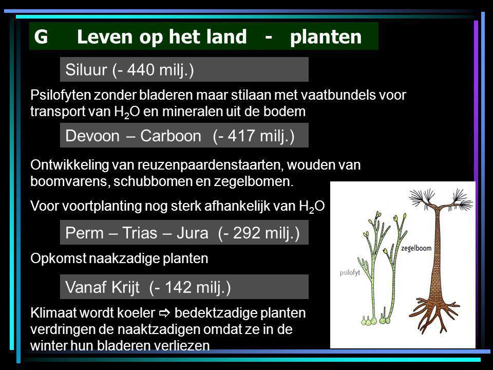 G Leven op het land - planten Siluur (- 440 milj.) Psilofyten zonder bladeren maar stilaan met vaatbundels voor transport van H 2 O en mineralen uit d