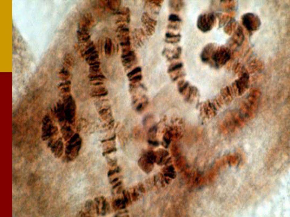 Hoe ontstaat een eigenschap? BCD Gen 1 Enzym 1 Gen 2 Enzym 2 Gen 3 Enzym 3 Beginproduct A Gen 4 Enzym 4 E Eindproduct (b.v. melanine) Erfelijk kenmerk