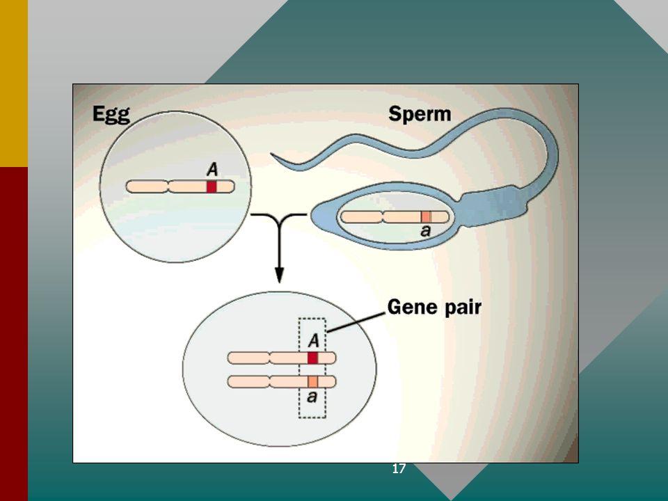 16 B. Homologe chromosomenB. Homologe chromosomen –'bespreken' op overeenkomstige plaatsen dezelfde kenmerken gen allel chromosoom