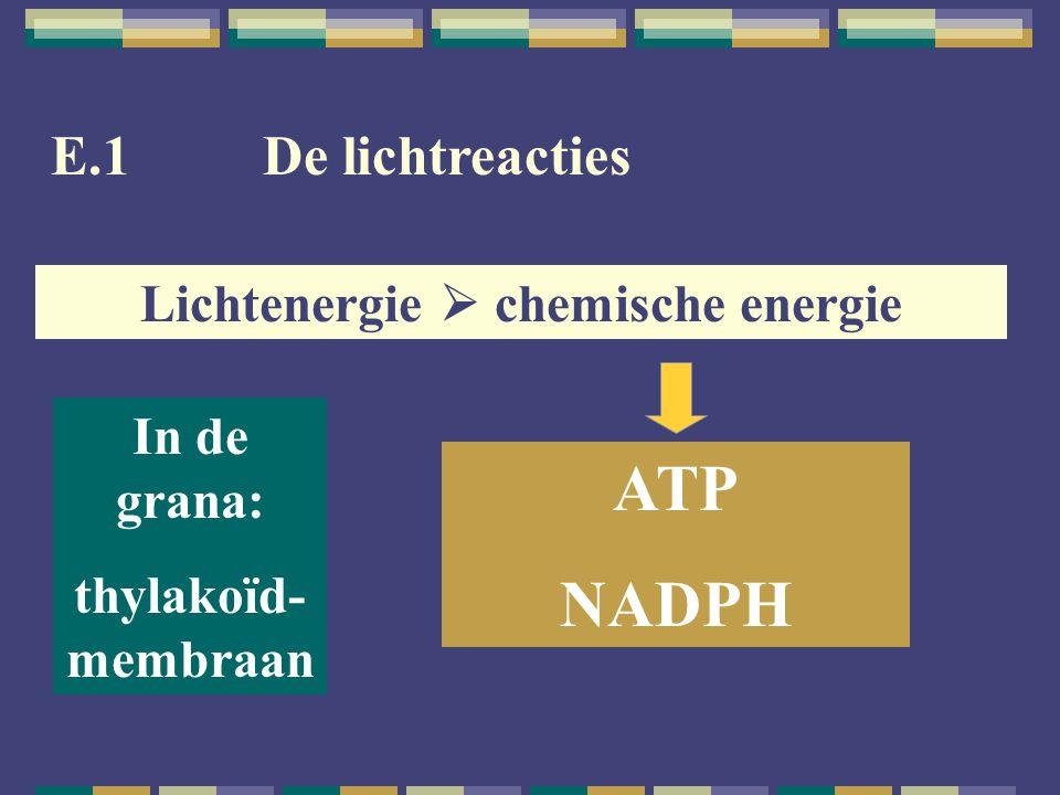 E.1De lichtreacties Lichtenergie  chemische energie ATP NADPH In de grana: thylakoïd- membraan