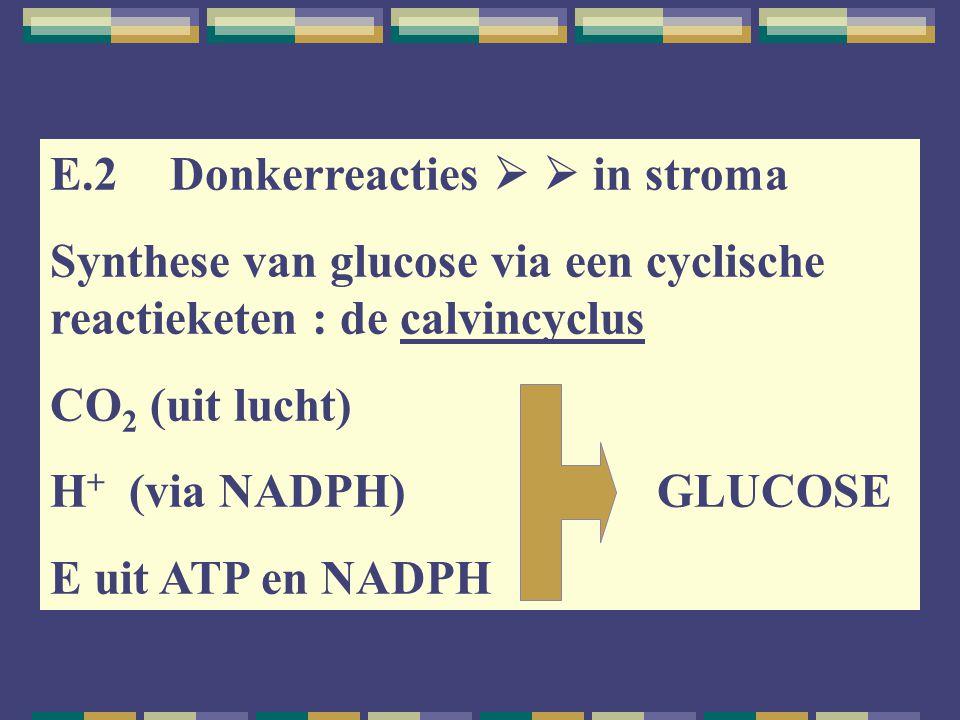 E.2 Donkerreacties   in stroma Synthese van glucose via een cyclische reactieketen : de calvincyclus CO 2 (uit lucht) H + (via NADPH) GLUCOSE E uit