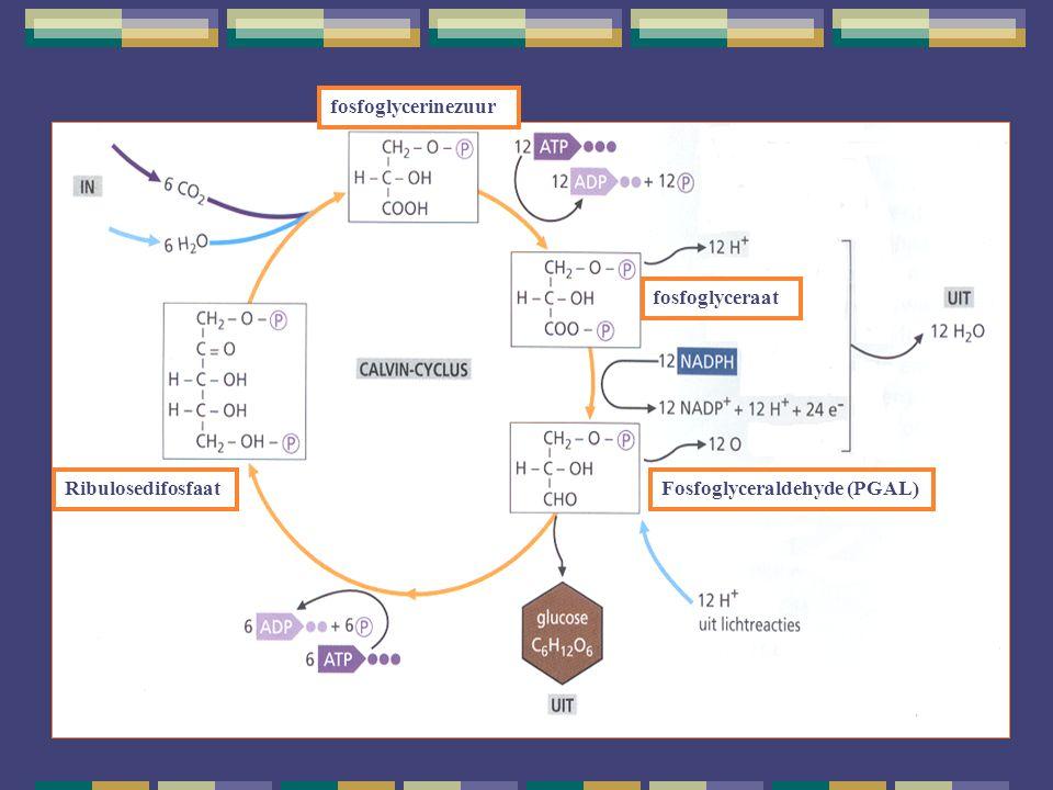 fosfoglycerinezuur Ribulosedifosfaat fosfoglyceraat Fosfoglyceraldehyde (PGAL)