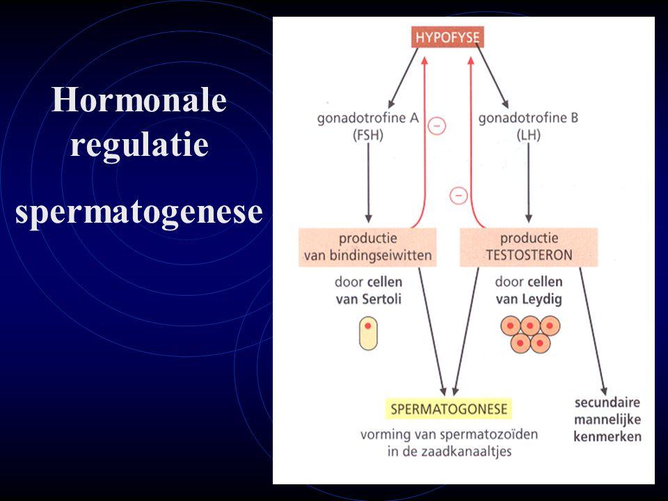 Hormonale regulatie spermatogenese