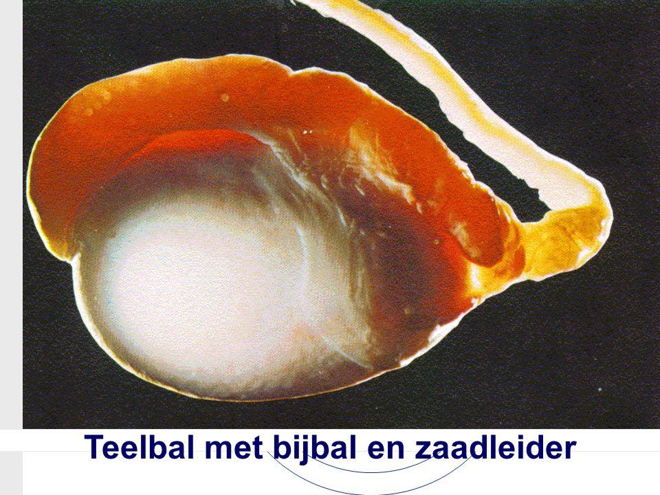 Teelbal met bijbal en zaadleider