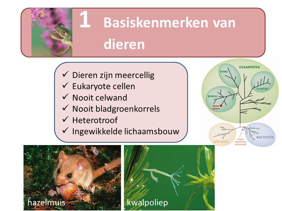 Dieren zijn meercellig Eukaryote cellen Nooit celwand Nooit bladgroenkorrels Heterotroof Ingewikkelde lichaamsbouw 1 Basiskenmerken van dieren kwalpol