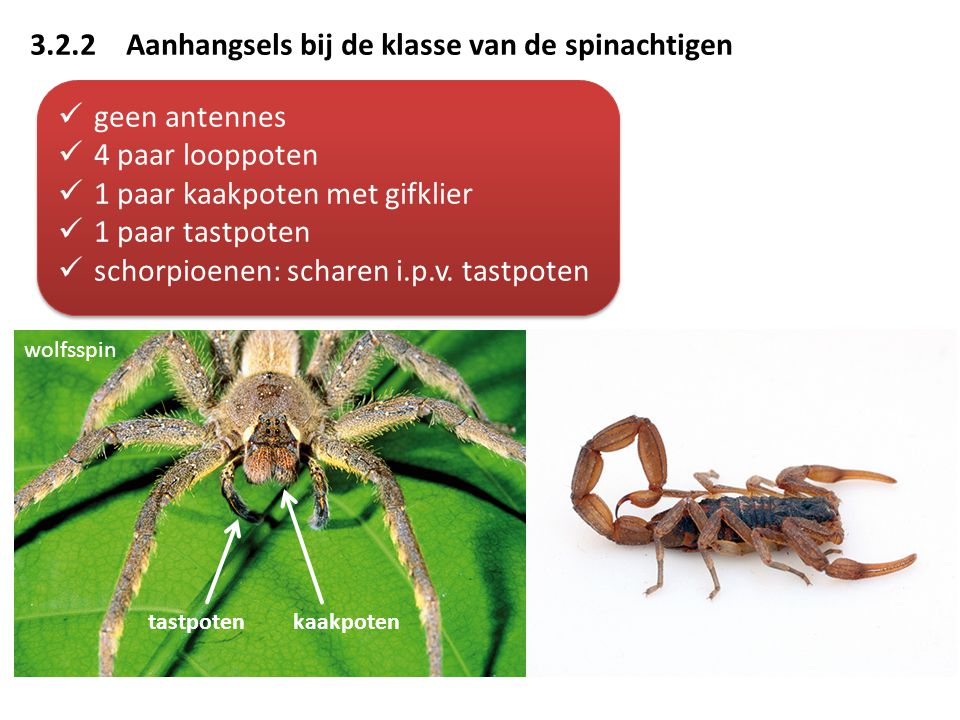 3.2.2Aanhangsels bij de klasse van de spinachtigen geen antennes 4 paar looppoten 1 paar kaakpoten met gifklier 1 paar tastpoten schorpioenen: scharen