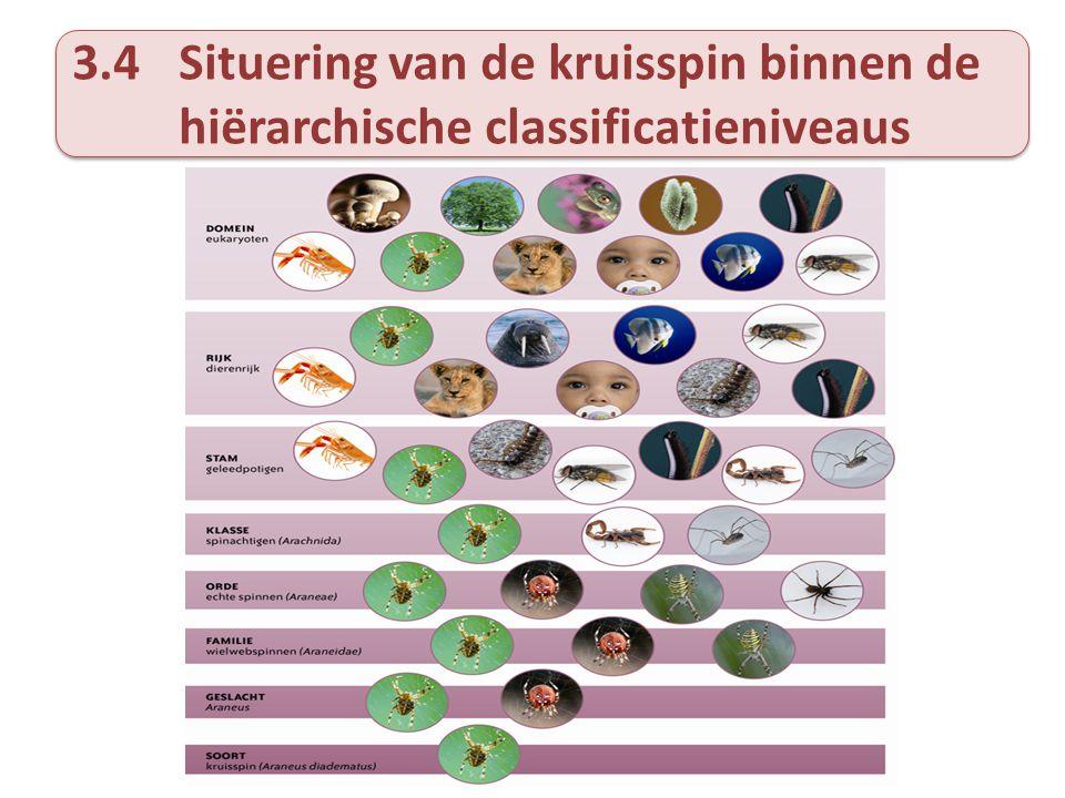 3.4Situering van de kruisspin binnen de hiërarchische classificatieniveaus