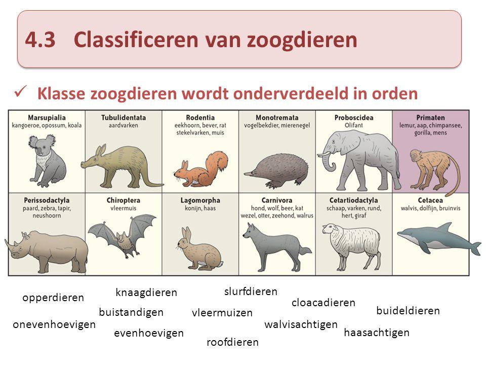 4.3Classificeren van zoogdieren Klasse zoogdieren wordt onderverdeeld in orden onevenhoevigen evenhoevigen haasachtigen roofdieren vleermuizen buistan