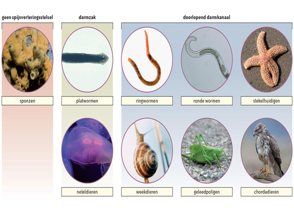 2.3Vertoont het dier segmentatie.Inwendige en uitwendige segmentatie  ringwormen  bv.