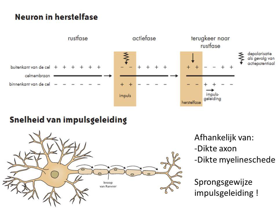 Afhankelijk van: -Dikte axon -Dikte myelineschede Sprongsgewijze impulsgeleiding !