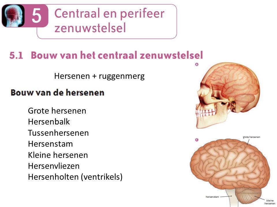 Hersenen + ruggenmerg Grote hersenen Hersenbalk Tussenhersenen Hersenstam Kleine hersenen Hersenvliezen Hersenholten (ventrikels)