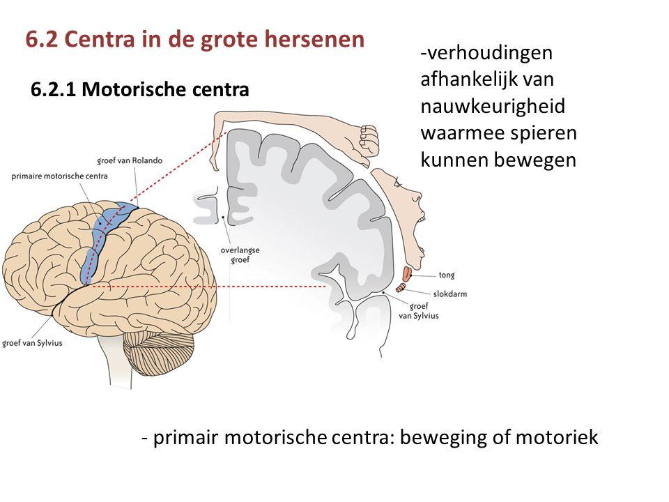 6.2 Centra in de grote hersenen 6.2.1 Motorische centra - primair motorische centra: beweging of motoriek -verhoudingen afhankelijk van nauwkeurigheid waarmee spieren kunnen bewegen