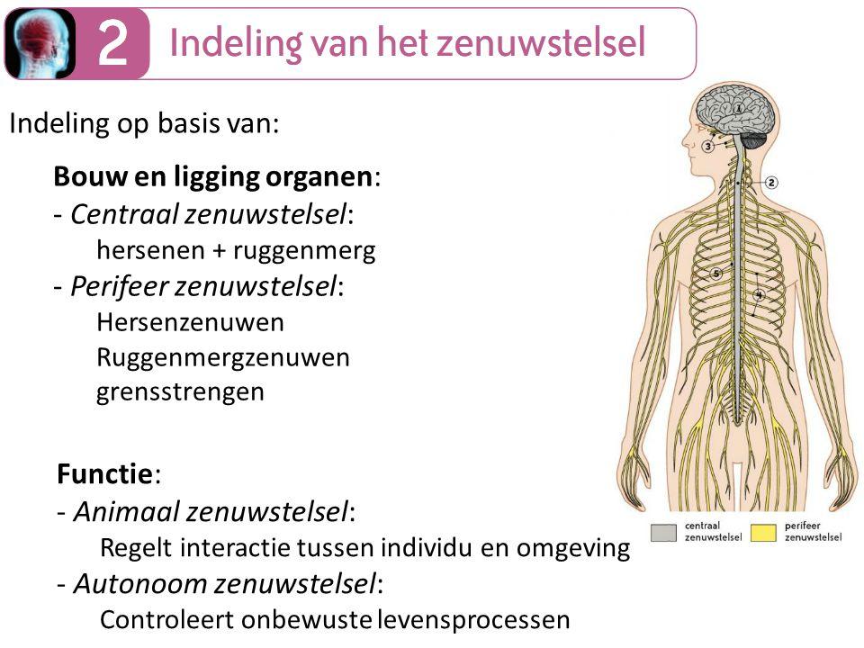 Bouw en ligging organen: - Centraal zenuwstelsel: hersenen + ruggenmerg - Perifeer zenuwstelsel: Hersenzenuwen Ruggenmergzenuwen grensstrengen Functie: - Animaal zenuwstelsel: Regelt interactie tussen individu en omgeving - Autonoom zenuwstelsel: Controleert onbewuste levensprocessen Indeling op basis van: