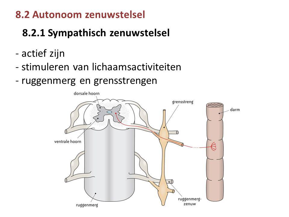 8.2 Autonoom zenuwstelsel - actief zijn - stimuleren van lichaamsactiviteiten - ruggenmerg en grensstrengen 8.2.1 Sympathisch zenuwstelsel