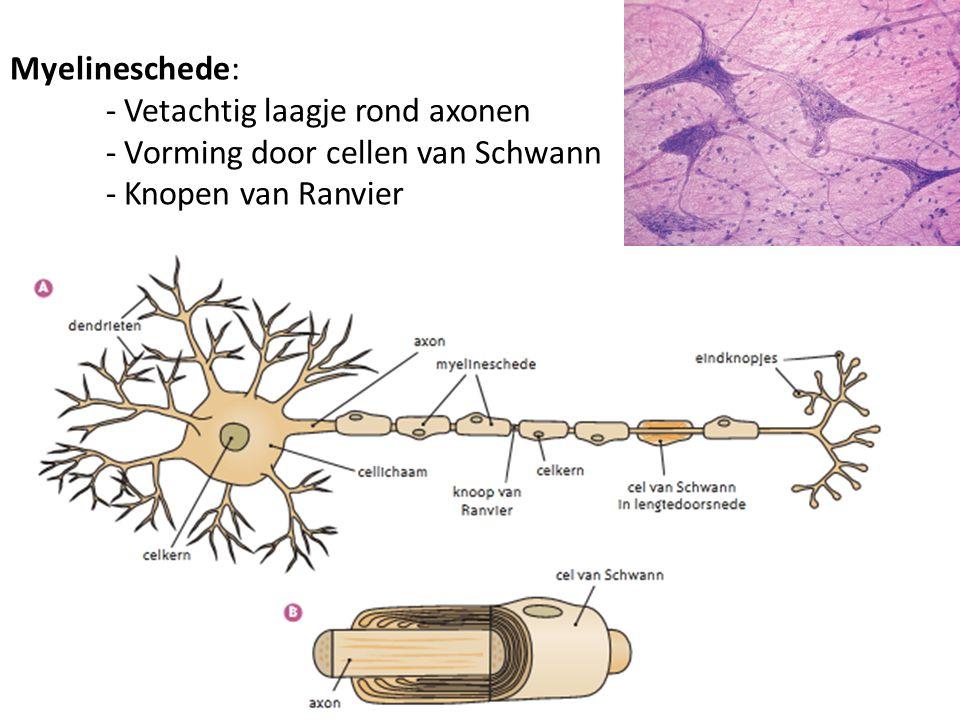 Myelineschede: - Vetachtig laagje rond axonen - Vorming door cellen van Schwann - Knopen van Ranvier