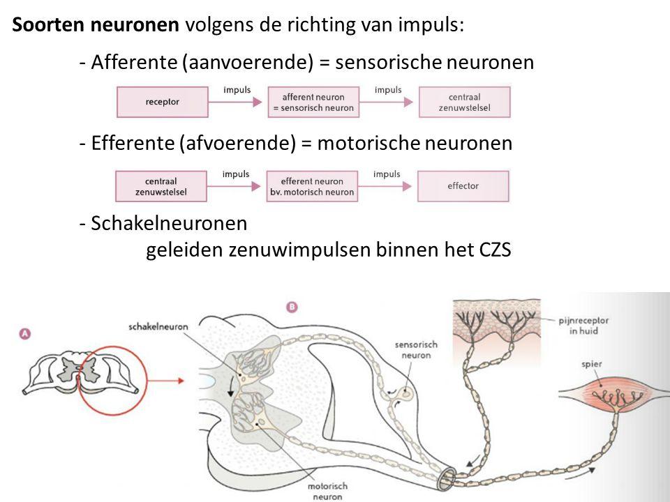 Soorten neuronen volgens de richting van impuls: - Afferente (aanvoerende) = sensorische neuronen - Efferente (afvoerende) = motorische neuronen - Schakelneuronen geleiden zenuwimpulsen binnen het CZS