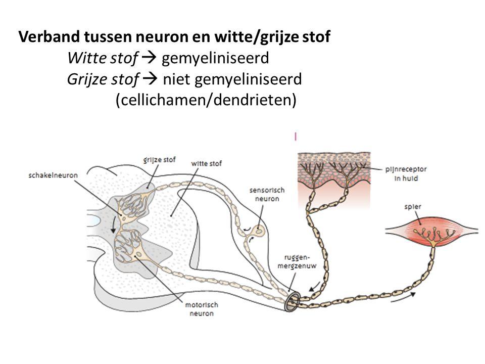 Verband tussen neuron en witte/grijze stof Witte stof  gemyeliniseerd Grijze stof  niet gemyeliniseerd (cellichamen/dendrieten)