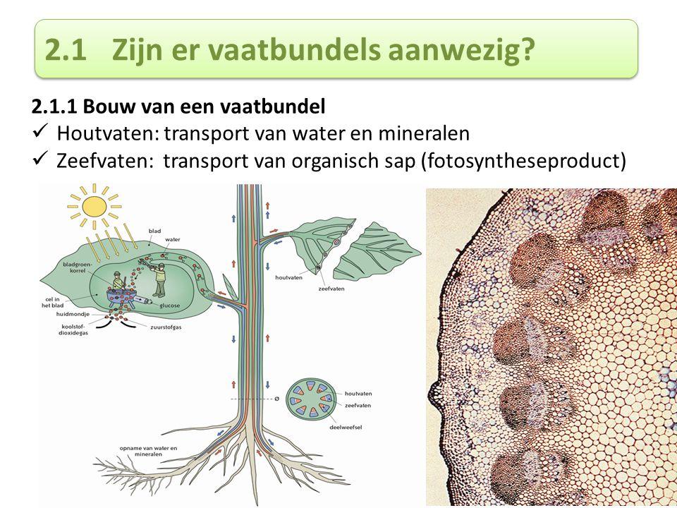 2.1Zijn er vaatbundels aanwezig? 2.1.1 Bouw van een vaatbundel Houtvaten: transport van water en mineralen Zeefvaten: transport van organisch sap (fot
