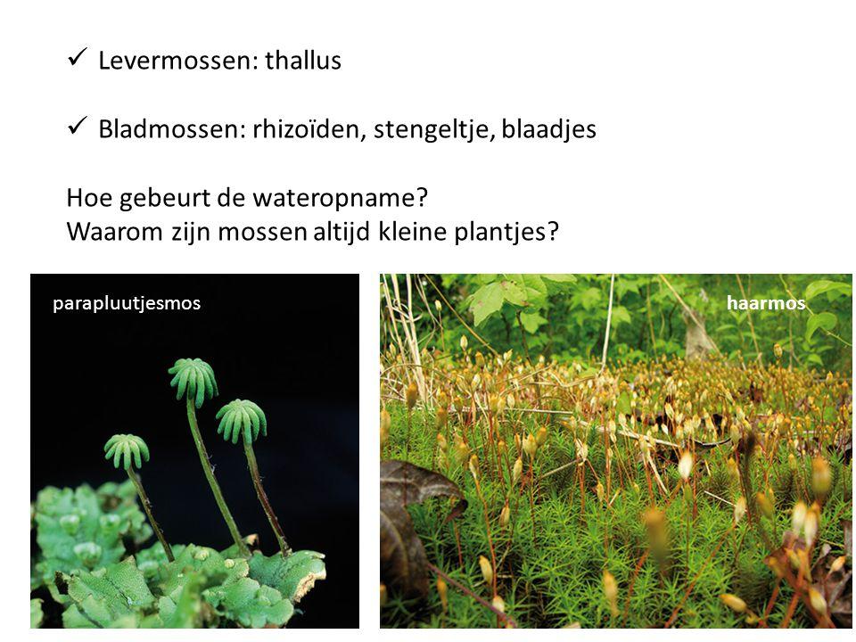 Levermossen: thallus Bladmossen: rhizoïden, stengeltje, blaadjes Hoe gebeurt de wateropname? Waarom zijn mossen altijd kleine plantjes? parapluutjesmo