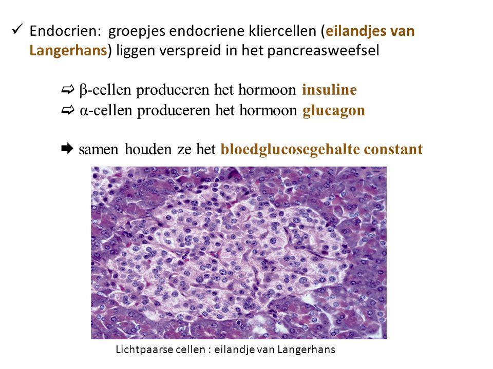 Endocrien: groepjes endocriene kliercellen (eilandjes van Langerhans) liggen verspreid in het pancreasweefsel  β-cellen produceren het hormoon insuline  α-cellen produceren het hormoon glucagon  samen houden ze het bloedglucosegehalte constant Lichtpaarse cellen : eilandje van Langerhans