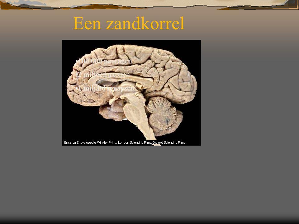 100.000 neuronen 2 miljoen axonen 1 miljard synapsen Een zandkorrel