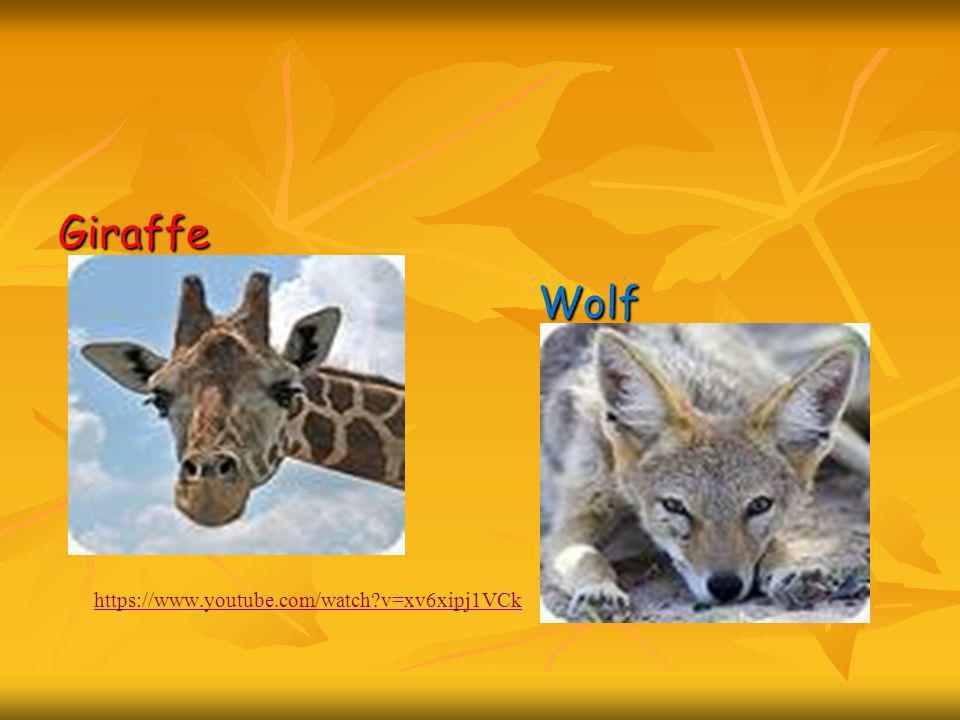 Giraffe Wolf https://www.youtube.com/watch?v=xv6xipj1VCk