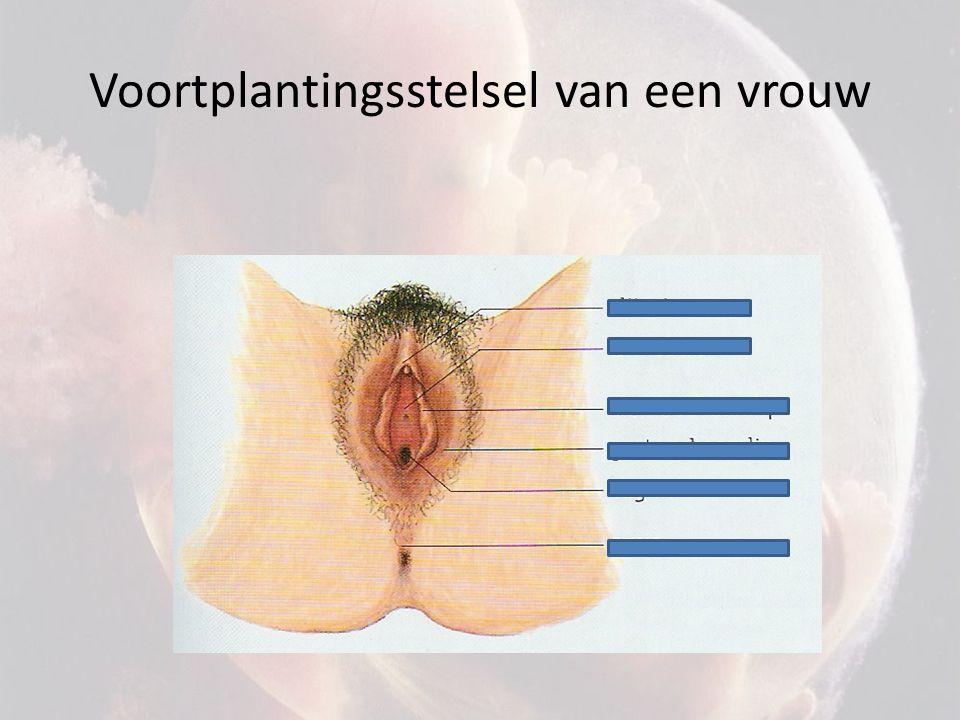 Voortplantingsstelsel van een vrouw