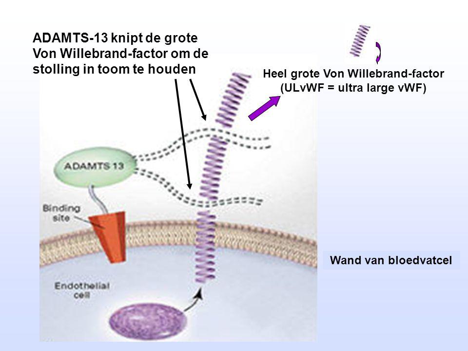 Heel grote Von Willebrand-factor (ULvWF = ultra large vWF) Wand van bloedvatcel ADAMTS-13 knipt de grote Von Willebrand-factor om de stolling in toom te houden