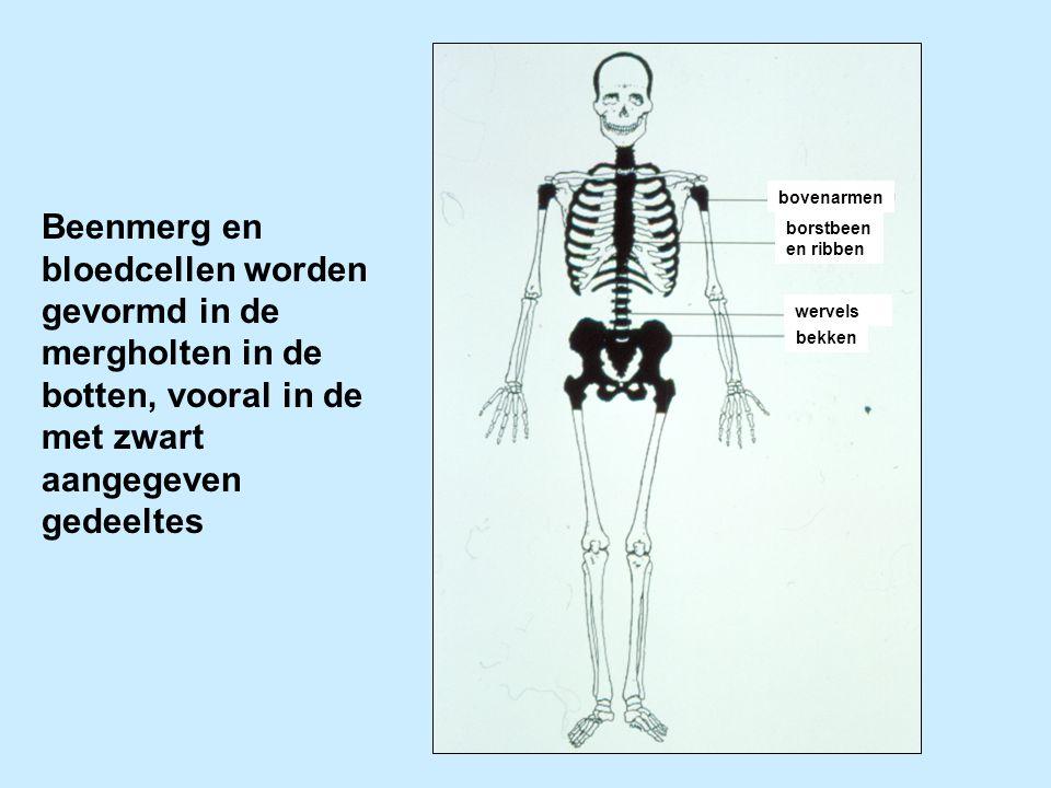 Beenmerg en bloedcellen worden gevormd in de mergholten in de botten, vooral in de met zwart aangegeven gedeeltes wervels bekken borstbeen en ribben b