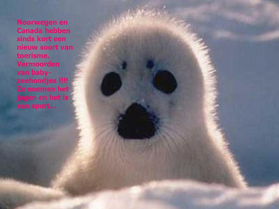 Noorwegen en Canada hebben sinds kort een nieuw soort van toerisme. Vermoorden van baby- zeehondjes !!!! Ze noemen het jagen en het is een sport…