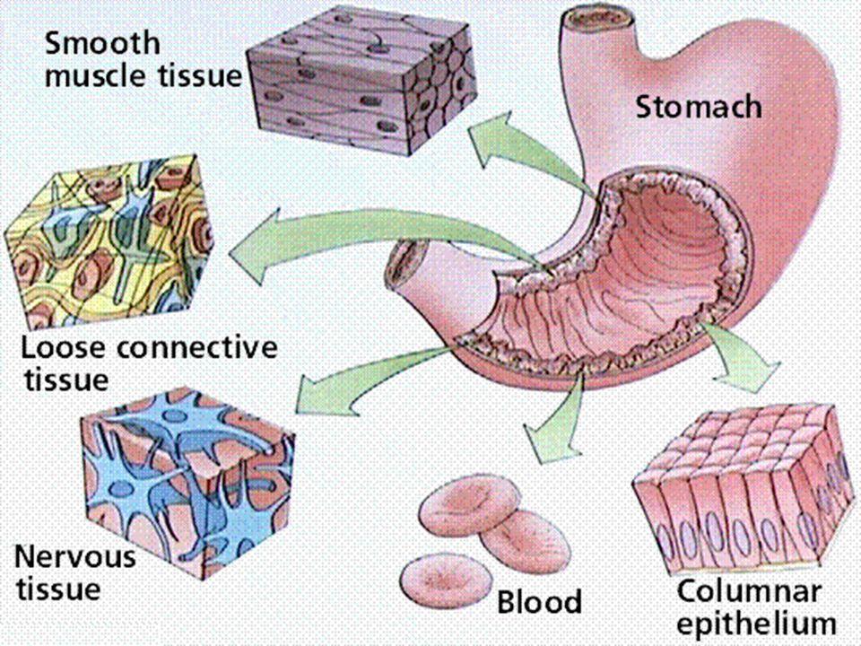 2. Dierlijke weefsels Het dierlijk of menselijk lichaam is samengesteld uit vier z.g. primaire weefsels: epitheelweefsel, bind- en steunweefsel, spier