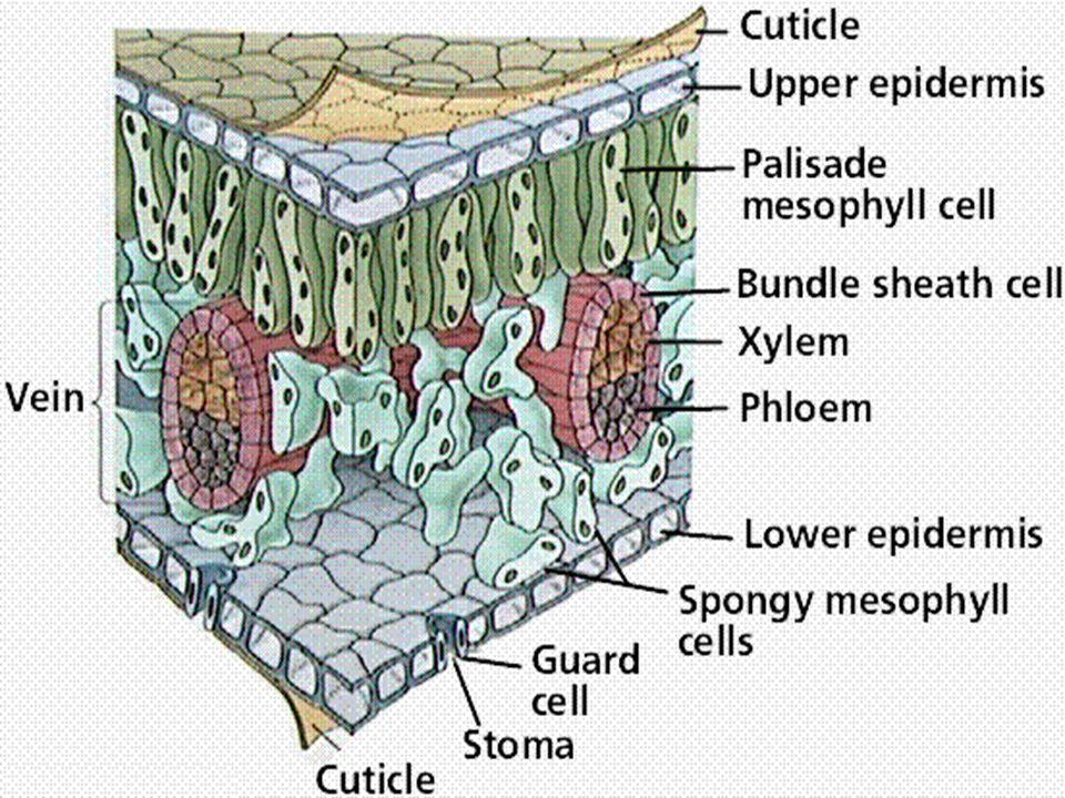 1. Plantaardige weefsels Vb. opperhuidweefsel steunweefsel transportweefsel (zeef- en houtvatenweefsel) deelweefsel vul- of grondweefsel