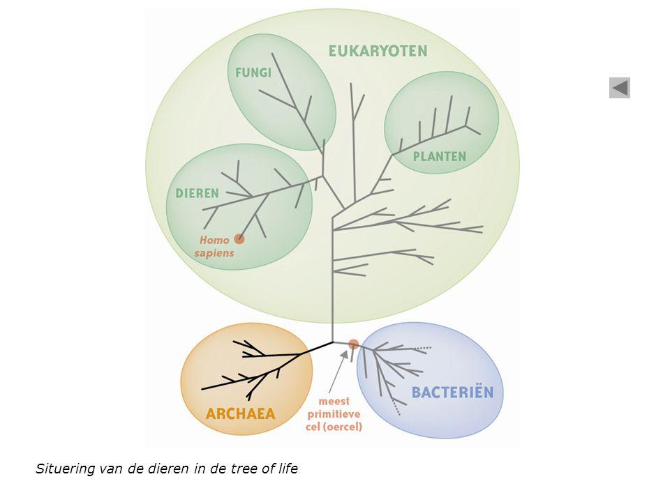 Celkern Cytoplasma Celmembraan Mitochondrion (celorganel) Ribosomen (celorganellen) Schematische voorstelling eukaryote dierlijke cel