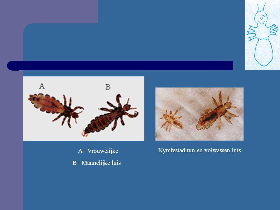 3. luizen: a. Wat is hoofdluis? Langwerpig vleugelloos insecten Kunnen niet vliegen of springen Volwassen luis: 3 à 4 mm (jonge luizen zie je amper) K