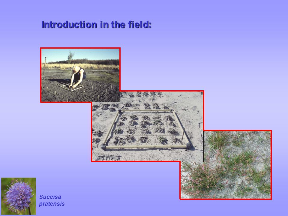 Introduction in the field: Succisa pratensis