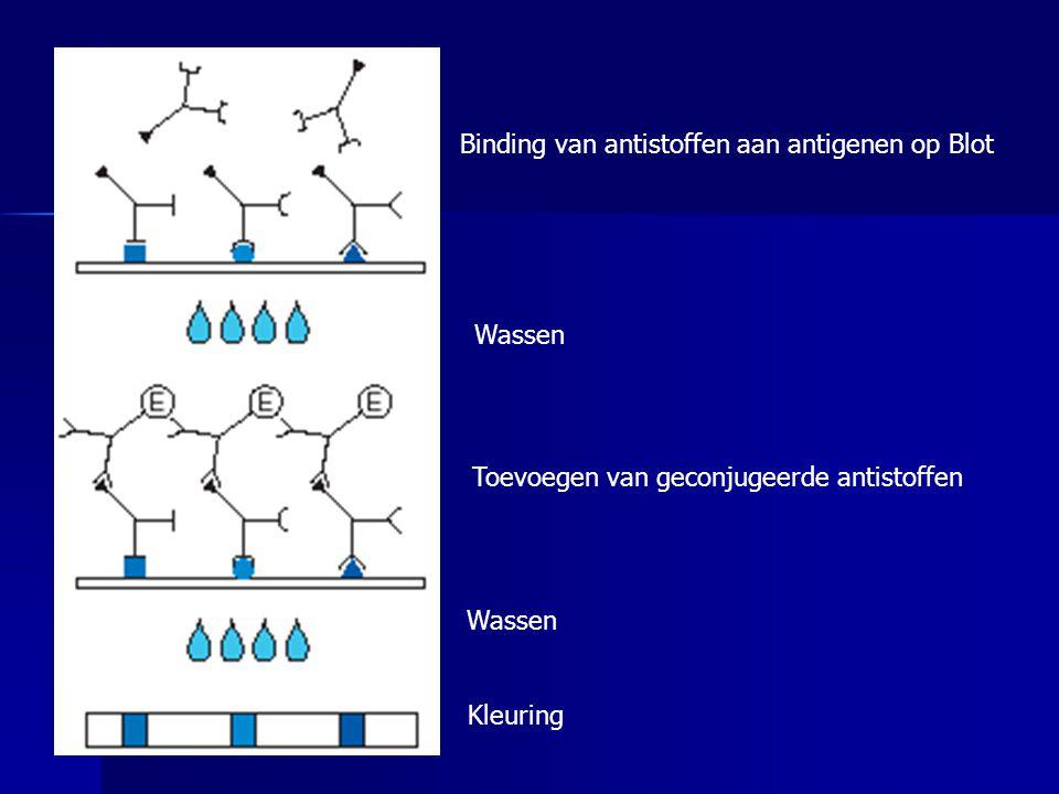 Binding van antistoffen aan antigenen op Blot Wassen Toevoegen van geconjugeerde antistoffen Wassen Kleuring
