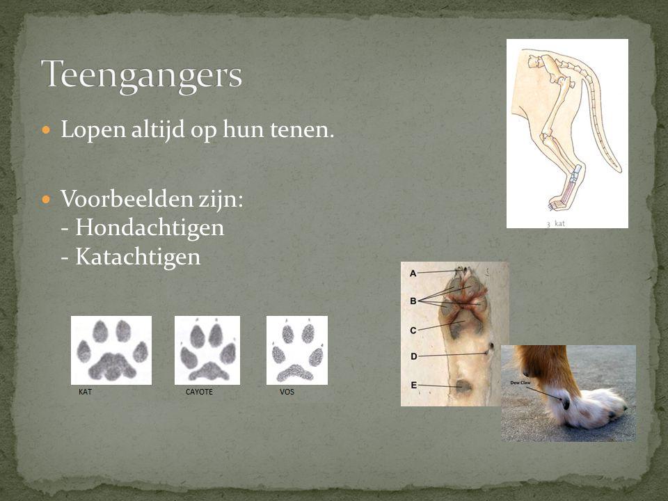 Lopen op de toppen van hun tenen Vaak zijn de toppen van de tenen bedekt door hoeven.