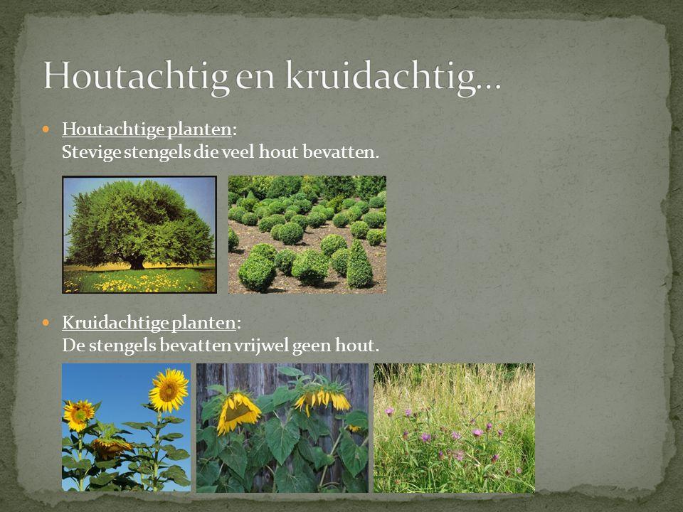 Houtachtige planten: Stevige stengels die veel hout bevatten. Kruidachtige planten: De stengels bevatten vrijwel geen hout.