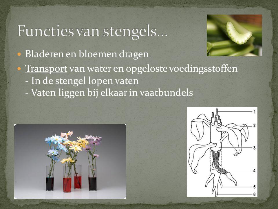 Bladeren en bloemen dragen Transport van water en opgeloste voedingsstoffen - In de stengel lopen vaten - Vaten liggen bij elkaar in vaatbundels