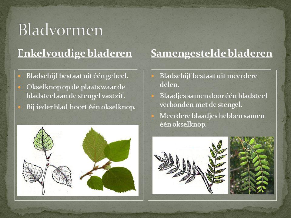 Enkelvoudige bladeren Bladschijf bestaat uit één geheel.