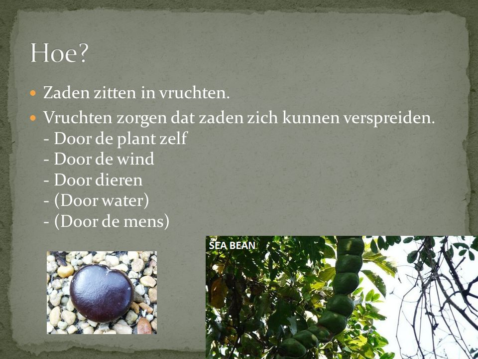 Zaden zitten in vruchten.Vruchten zorgen dat zaden zich kunnen verspreiden.