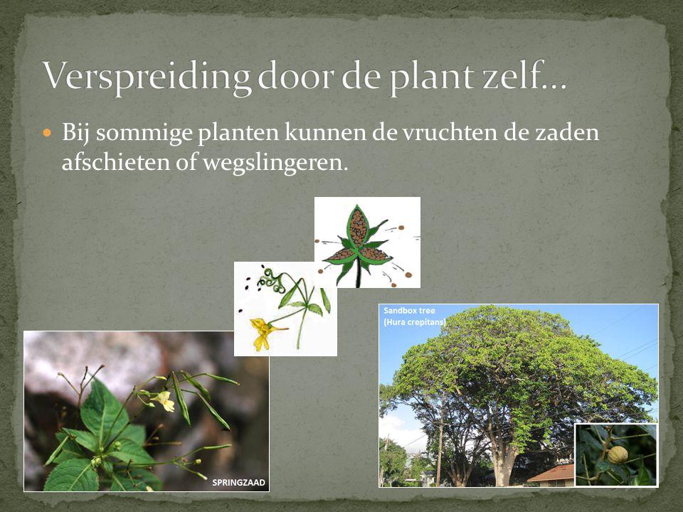 Bij sommige planten kunnen de vruchten de zaden afschieten of wegslingeren.