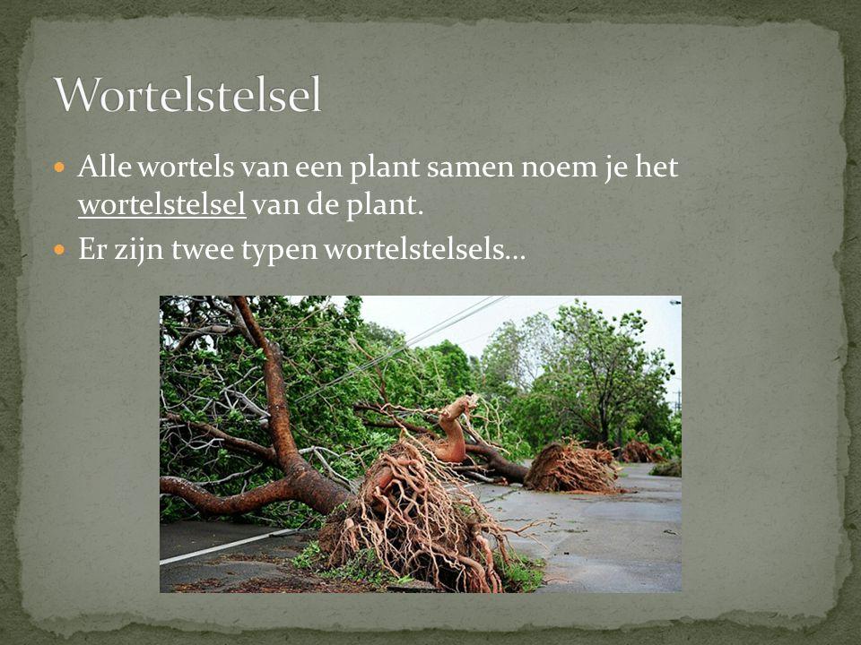 Alle wortels van een plant samen noem je het wortelstelsel van de plant. Er zijn twee typen wortelstelsels…
