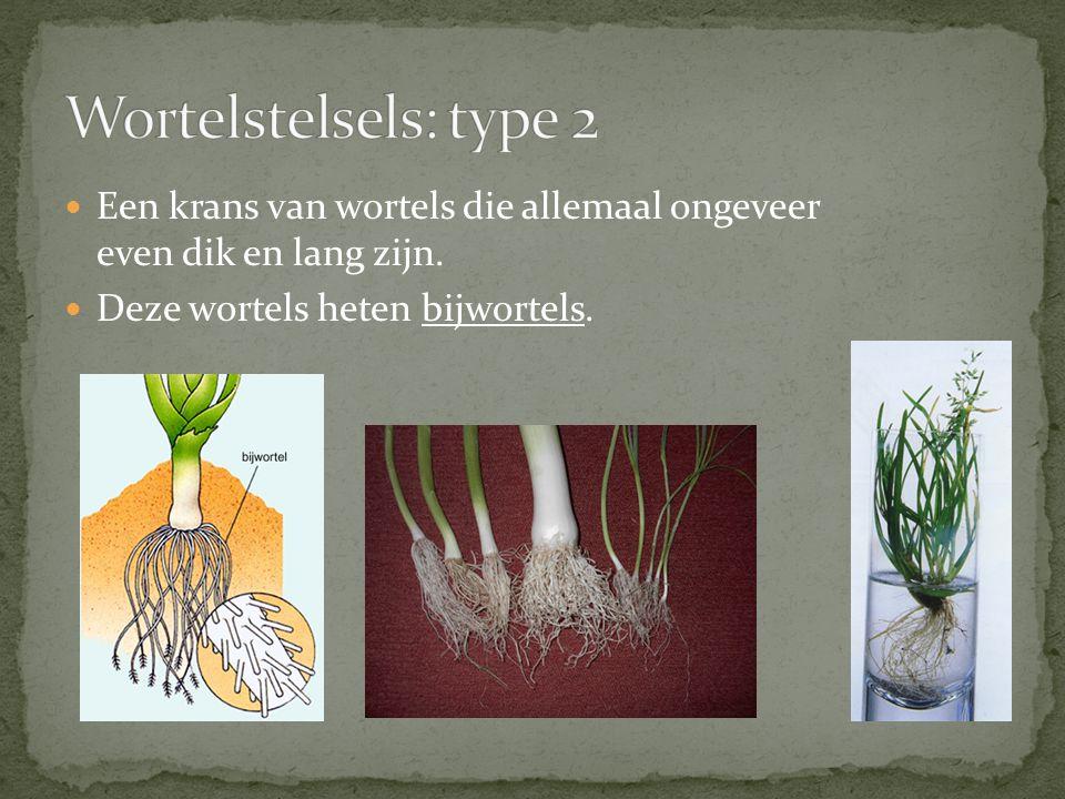 Een krans van wortels die allemaal ongeveer even dik en lang zijn. Deze wortels heten bijwortels.